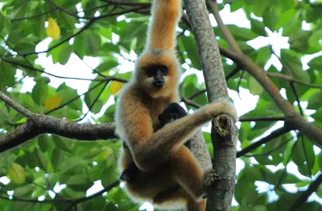 Extinct gibbon species discovered in ancient Chinese tomb